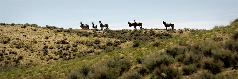 Wild Mustangs on the ridge<br /> Sandwash Basin HMA, Colorado