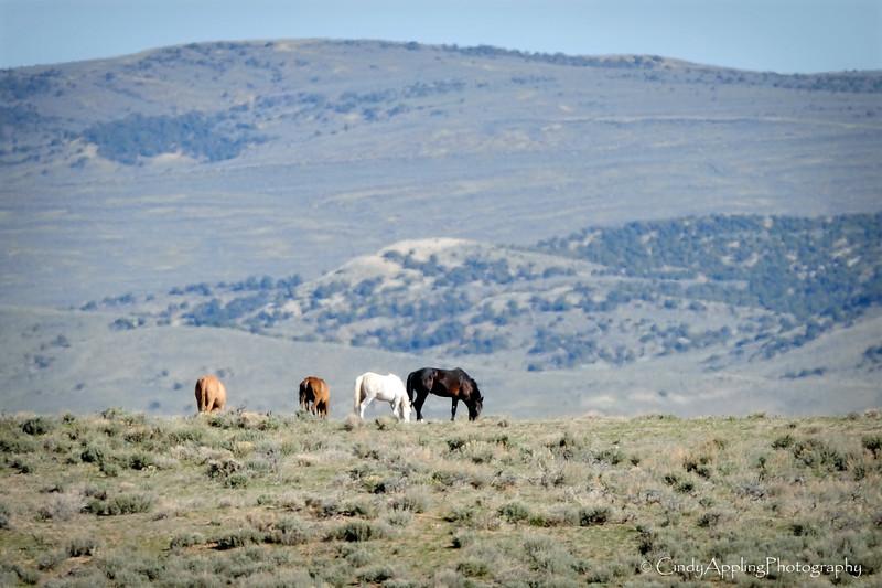 """""""Distant Mustangs""""<br /> Sandwash Basin HMA, Colorado"""