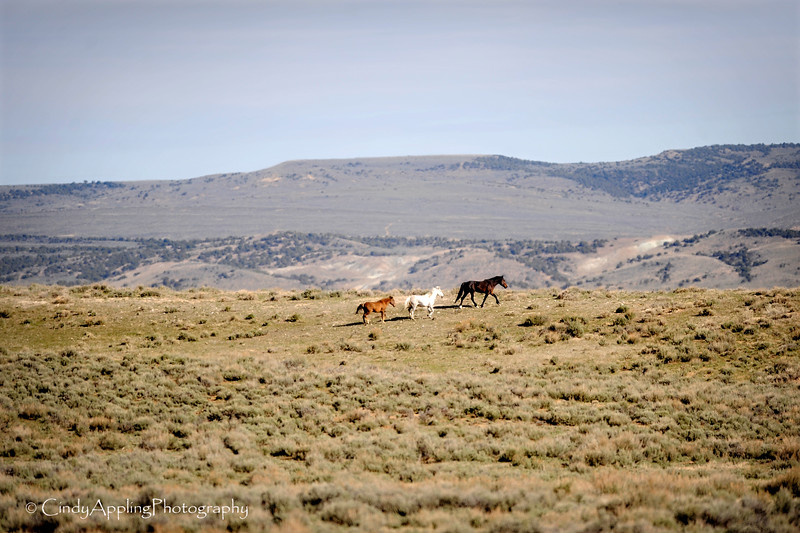 Running Free<br /> <br /> Sandwash Basin HMA, Colorado