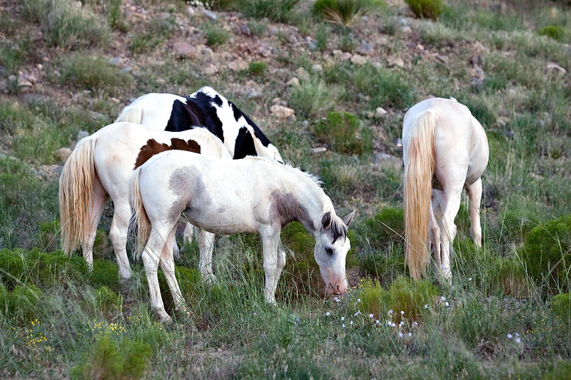 Placitas Wild Horses, NM