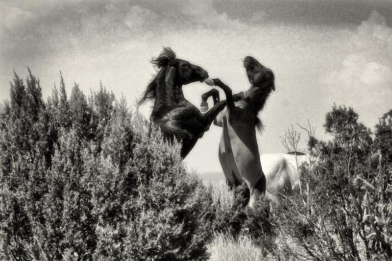 Bachelor's stallions at play