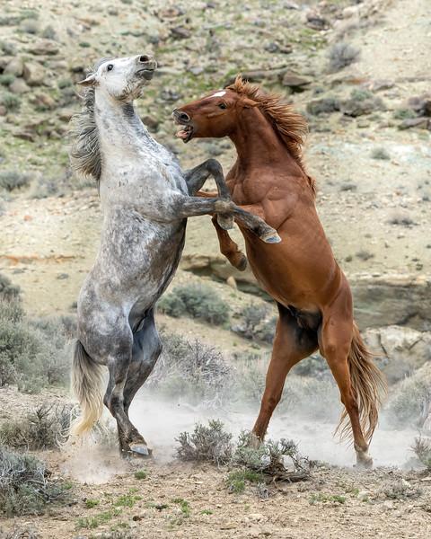 Wild Stallions Battling in Sand Wash Basin, Colorado