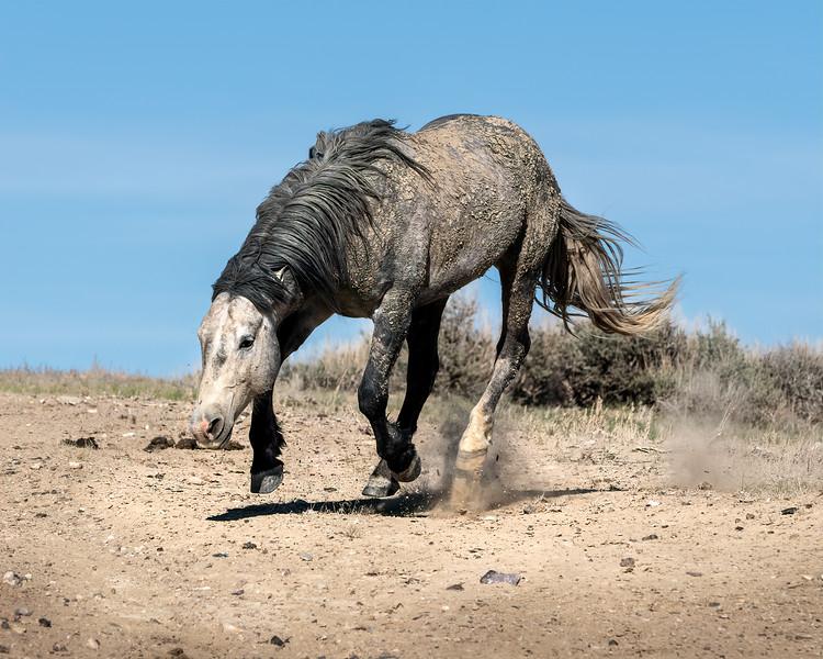 Wild Stallion Nakota on the Run - Sand Wash Basin