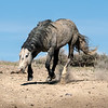 Wild Stallion Nakota on the Run - Sand Wash Basin