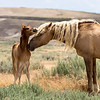 Young colt Tucker with wild stallion Corona