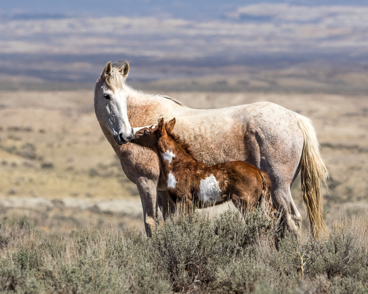 Wild Mare Juniper with her New Colt