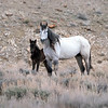 Sand Wash Basin Wild Mare With Her Young Filly
