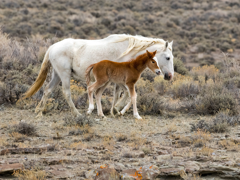 Wild Mare Mystic with young filly Venus