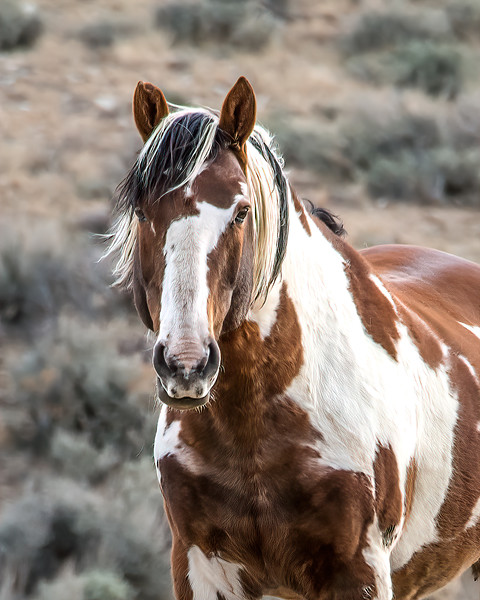 Picasso, Wild Mustang Stallion of Sand Wash Basin