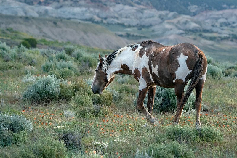 Wild Mustang Stallion Picasso in the Wildflowers