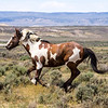 Wild Mustang Picasso Running in Sand Wash Basin