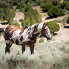 Wild Stallion Picasso in Sand Wash Basin Surrounded by Sagebrush