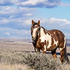 Picasso - Wild Mustang of Sand Wash Basin