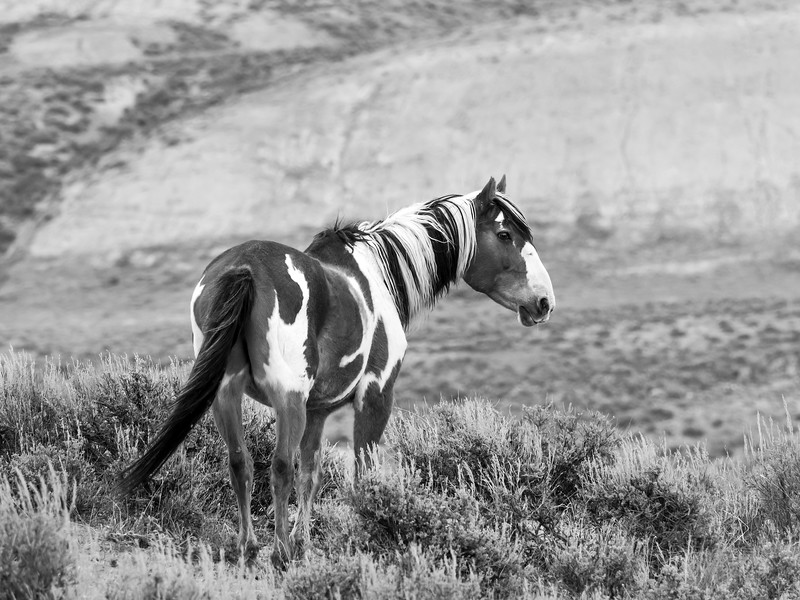 Picasso Wild Pinto Stallion of Sand Wash Basin