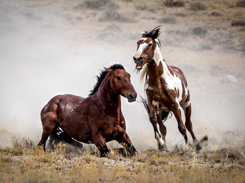 Wild Stallion Battle - Picasso and Dragon