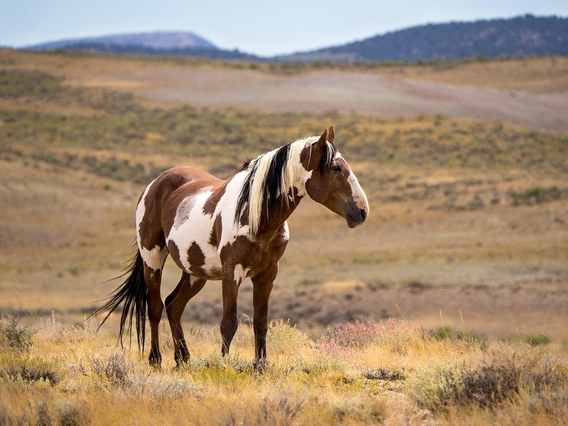 Wild Stallion Picasso - Famous Mustang of Sand Wash Basin