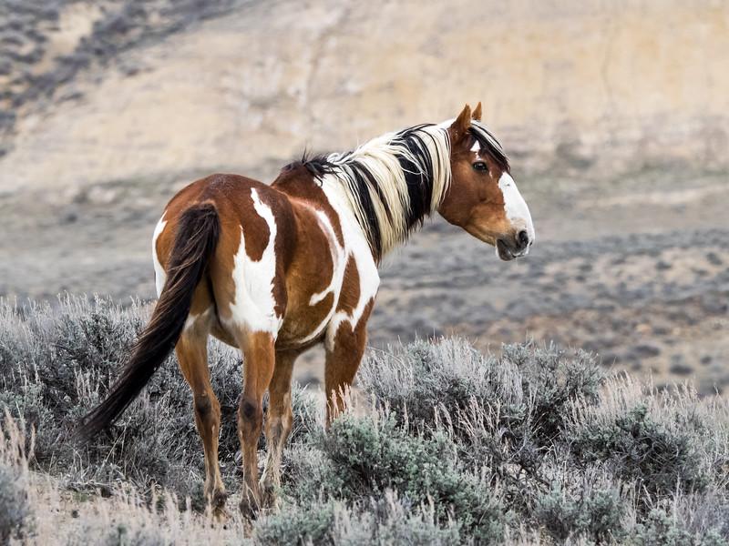 Picasso Wild Stallion of Sand Wash Basin