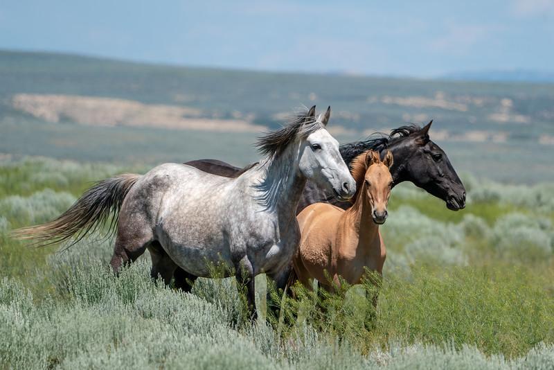 Arabella, Holiday and Stallion Boomer - Sand Wash Basin Wild Horses