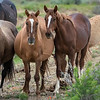 Wild Mare Ginger and Gingersnap