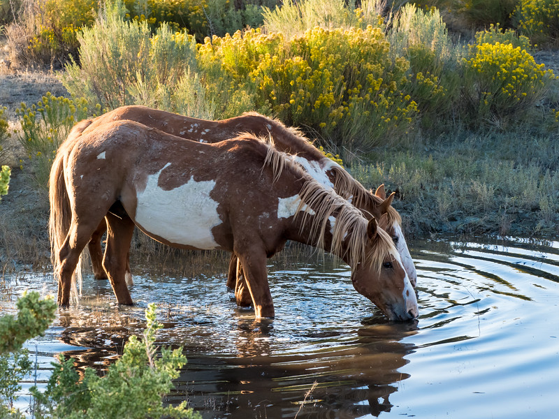 Stallions Hoot and Pinyon