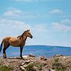 Wild Bachelor Stallion Wrangler in Sand Wash Basin