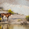 Wild Mustang Stallion Raindance