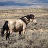 Wild Stallion Parker