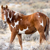 Brayley - Young Pinto Mare