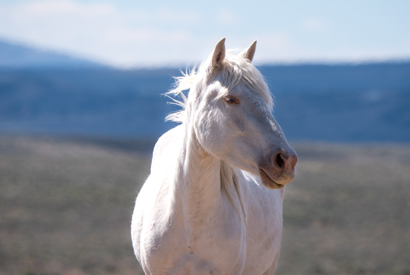 Beautiful wild mare Laramie