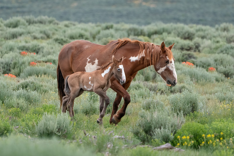 Crazy Horse with her young colt Inyan