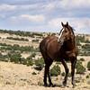 Wild Stallion Noble