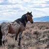 Wild Stallion Rendezvous of Sand Wash Basin