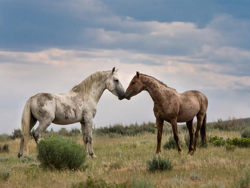 Wild Stallions Casper and Sancho