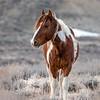Wild Stallion Tango - Son of Picasso in Sand Wash Basin