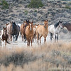 Sand Wash Basin Wild Horses Coming in to Water