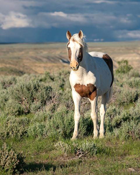 Winchester - Wild Blue-Eyed Stallion