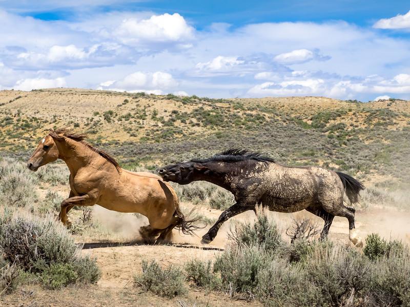 Wild Stallions Schatzi and Chief Battle