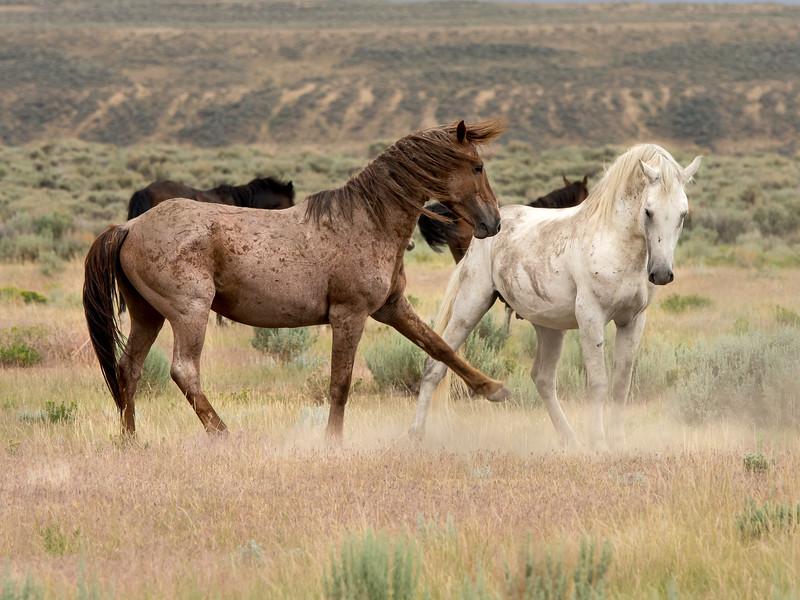 Stallions Sancho and Casper Posturing