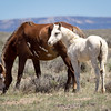 Wild Mare Violet with her filly Virginia