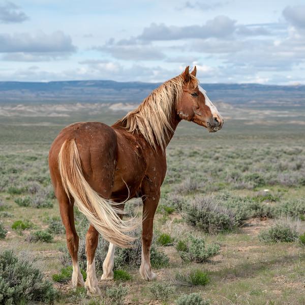 Wild Stallion Outlaw in Sand Wash Basin