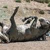 Wild Stallion Nakota Rolling