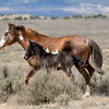 Wild Mare Divine and Young Filly Iris