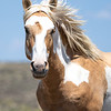 Sand Wash Basin Wild Palomino Pinto Stallion - Meteor