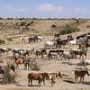 Wild Mustang Gathering