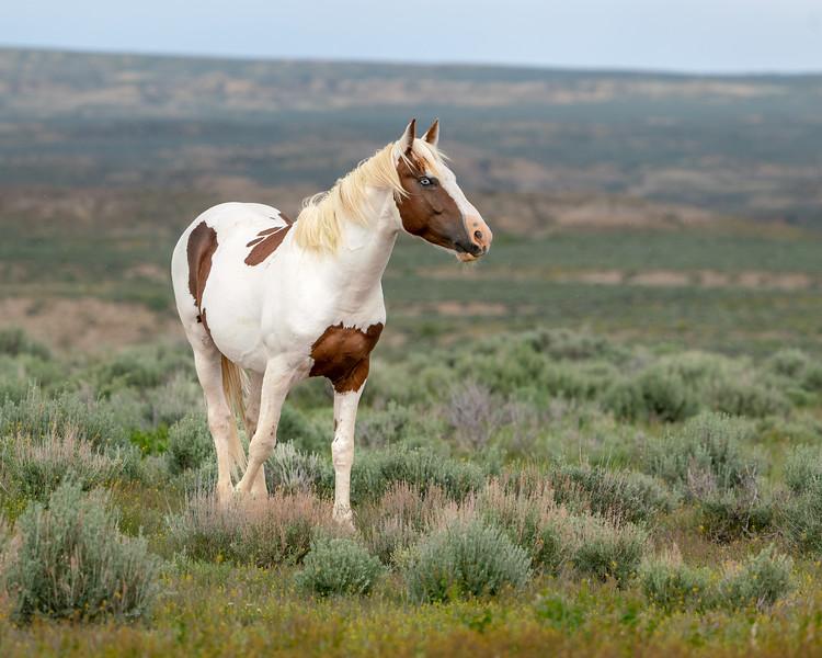 Winchester - Wild Bachelor Stallion