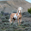 Young Stallion Meteor in Sand Wash Basin