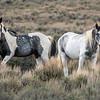 Young Sand Wash Basin Stallions Nakai and Thunderhoof
