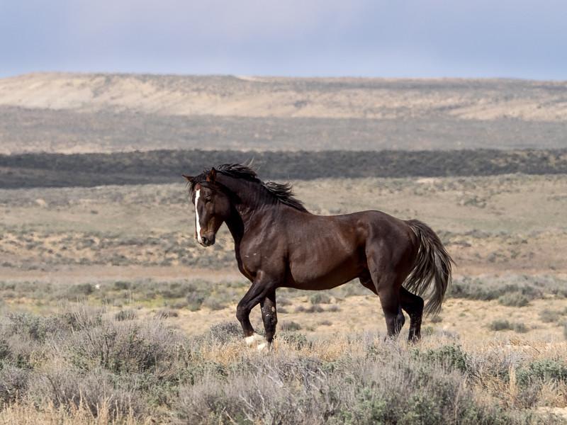 Wild Stallion Frisky Posturing