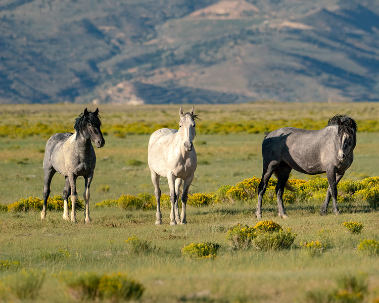 Wyoming Wild Horses in the Evening Light