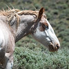 Salt Wells Creek Wyoming Wild Pinto Roan With Blue Eyes